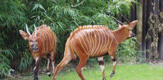 Bongos LEKI und KAWANA (Foto: Zoo Frankfurt)