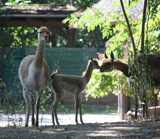 Vikunja Jungtier mit Mutter (Foto: Zoo Frankfurt)