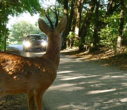 Vorsicht Wild! Bei Sichtkontakt abbremsen und Fernlicht ausschalten. Scheinwerferlicht irritiert die Tiere (Foto: ADAC)