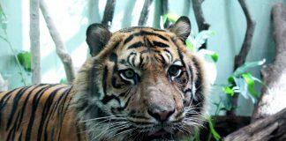 Sumatra-Tiger Vanni im Katzendschungel (Foto: Zoo Frankfurt)