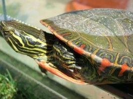 Die gefundene Sumpfschildkröte (Foto: Stadt Speyer)