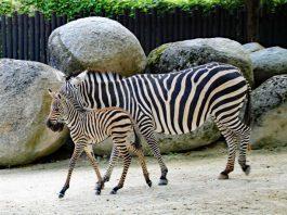 Zebrastute Livanga trabt zusammen mit ihrem Nachwuchs durch das Gehege. (Foto: Zoo Karlsruhe)