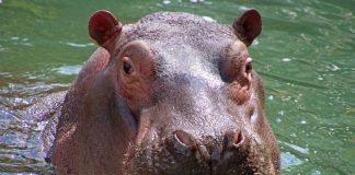 Karl Wilhelm ist im tschechischen Zoo Dvůr Králové gestorben (Foto: Zoo Karlsruhe)