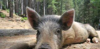 Symbolbild Wildschwein