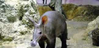 Erdferkel ELVIS (Foto: Zoo Frankfurt)