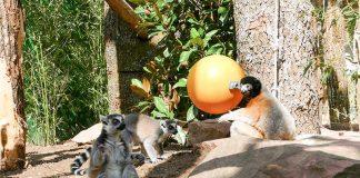 Die drei Lemuren erkunden die neue Anlage (Foto: Petra Medan/Zoo Heidelberg)