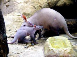 Erdferkel ERMINE und MEMPHIS (Foto: Zoo Frankfurt)