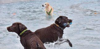 Geht's dem Tier gut, ist der Hundehalter glücklich: Beim Hundeschwimmen im Tiergartenbad herrschte gute Stimmung. (Foto: Stadtwerke Heidelberg GmbH/Peter Dorn)