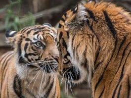 Sind Karis (li.) und Tebo (r.) bald das neue Traumpaar im Zoo Heidelberg? (Foto: Susi Fischer/Zoo Heidelberg)