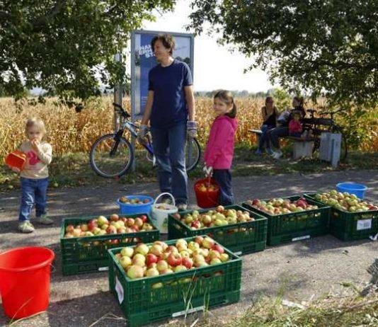 Walldorf setzt bei Fairness auch auf lokale Produkte und Produktion, wie bei der Apfelernte vor Ort und beim Backen von Elisenlebkuchen für den Weihnachtsmarkt (Fotos: Pfeifer)