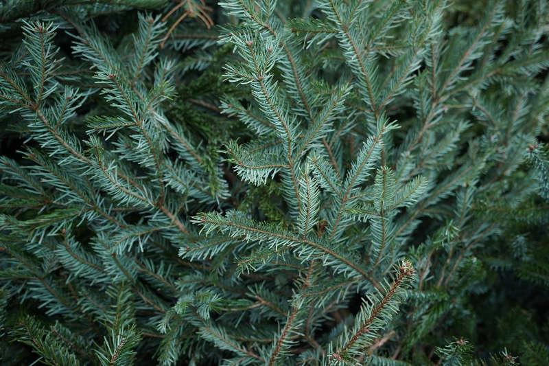 Weihnachtsbaum (Foto: Holger Knecht)