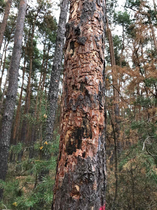Baum mit Prachtkäferbefall und Pilzsporen (Foto: Gemeindeverwaltung Haßloch)