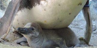 Die Brut der Humboldt-Pinguine funktioniert im geschützten Umfeld des Zoo Landau bestens, in der Natur sieht es für die Pinguine hingegen schlecht aus. (Foto:Zoo Landau)