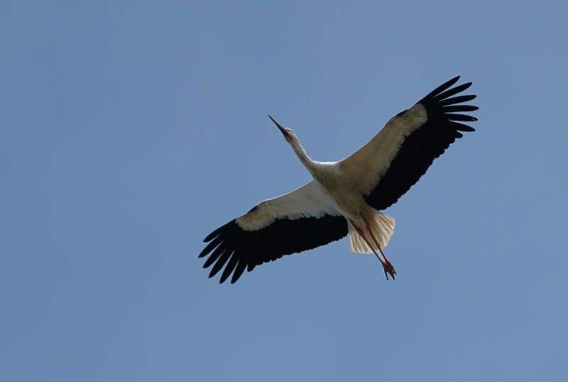 Symbolbild Storch Störche (Foto: Holger Knecht)