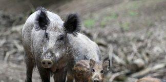 Symbolbild, Tiere, Wild, Wildunfall, Wildschwein © CrizzlDizzl on Pixabay