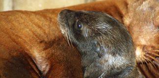 Der junge Seelöwe ist Chiccas zweites Jungtier. (Foto: Timo Deible/Zoo Karlsruhe)