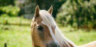Symbolbild, Tiere, Pferde, Stute, Haflinger Draussen © sarahdtd on Pixabay