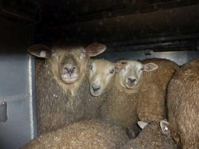 Dicht gedrängte Schafe im Laderaum eines Transporters