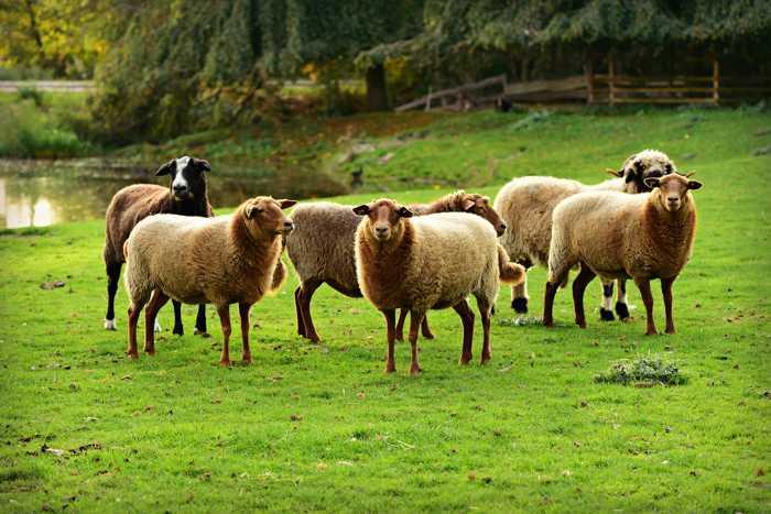 Symbolbild, Tiere, Schafe, braune, Herde © on Pixabay