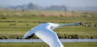 Symbolbild, Tiere, Schwan, Wiese, fliegt über Boden © on pixabay