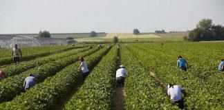Erntehelferinnen und Erntehelfer werden dringend gesucht. Die Erdbeerernte soll in zwei bis drei Wochen beginnen. (Foto: Steegmüller Erdbeergärten)