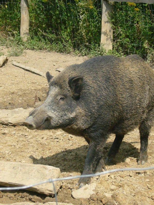 Wildschwein in Freiluft-Gehege (Foto: Hannes Blank)