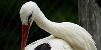 Symbolbild, Storch, putz sich, Nahaufnahme © taken on pixabay