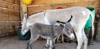 Bereits kurz nach der Geburt laufen junge Esel mit den Erwachsenen mit. Hier zu sehen sind Jungtier und Mutter. (Foto: Zoo Heidelberg)