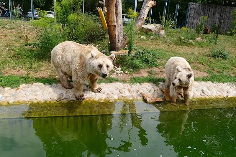 Die Syrischen Braunbären zählen zu den Besucherlieblingen und begrüßen die Zoogäste direkt am Eingang. (Foto: Petra Medan/Zoo Heidelberg)