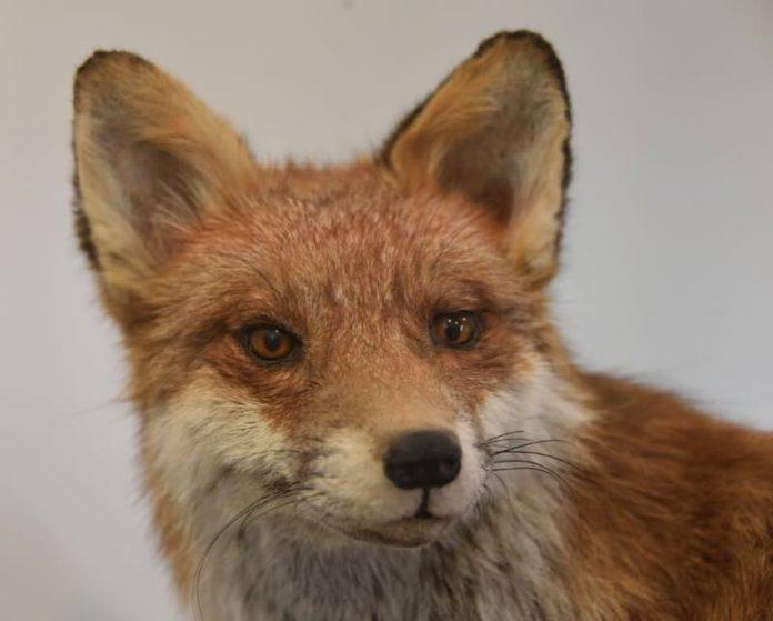 Der Rotfuchs, mit seinen großen Ohren und den langen Schnurrhaaren perfekt an das Jagen in der Dunkelheit angepasst. (Foto: Pfalzmuseum für Naturkunde)