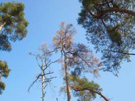 Kahle Bäume und hängende Blätter: Hitze und Trockenheit stressen die Nadel- und Laubbäume in den Wäldern des Rhein-Neckar-Kreises. (Foto: Landratsamt Rhein-Neckar-Kreis)
