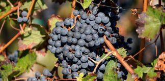 Symbolbild Weintrauben in einem südpfälzischem Weinberg (Foto: Holger Knecht)