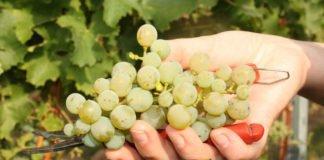 Sauvignon Blanc (Foto: Pfalzwein e.V. / Susanne Breiling)