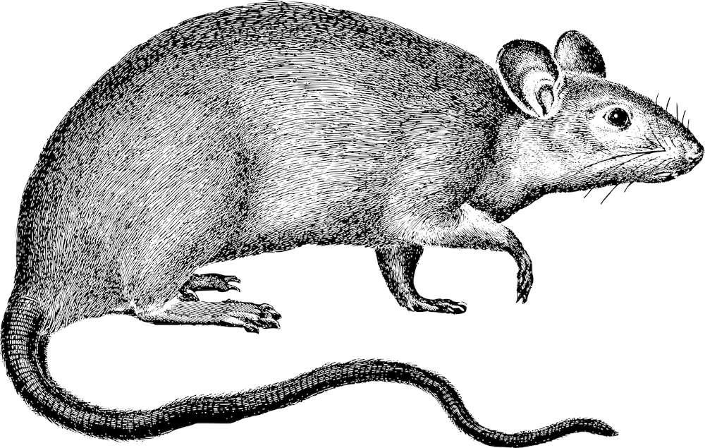 Symbolbild Ratte (Foto: PIxabay/Gordon Johnson)