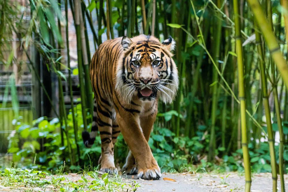 Er gilt als König des Dschungels – der Tiger. Wie er sich an das Leben im Regenwald angepasst hat, erfahren die Teilnehmer bei den Schnupper-Workshops in den Herbstferien im Zoo Heidelberg. (Foto: Zoo Heidelberg/Peter Bastian)