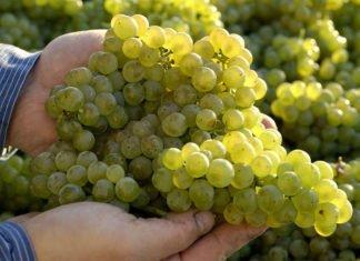 ie deutschen Weinerzeuger konnten dank des sonnigen und trockenen Spätsommers hochreife und sehr gesunde Trauben ernten. (Quelle: DWI)