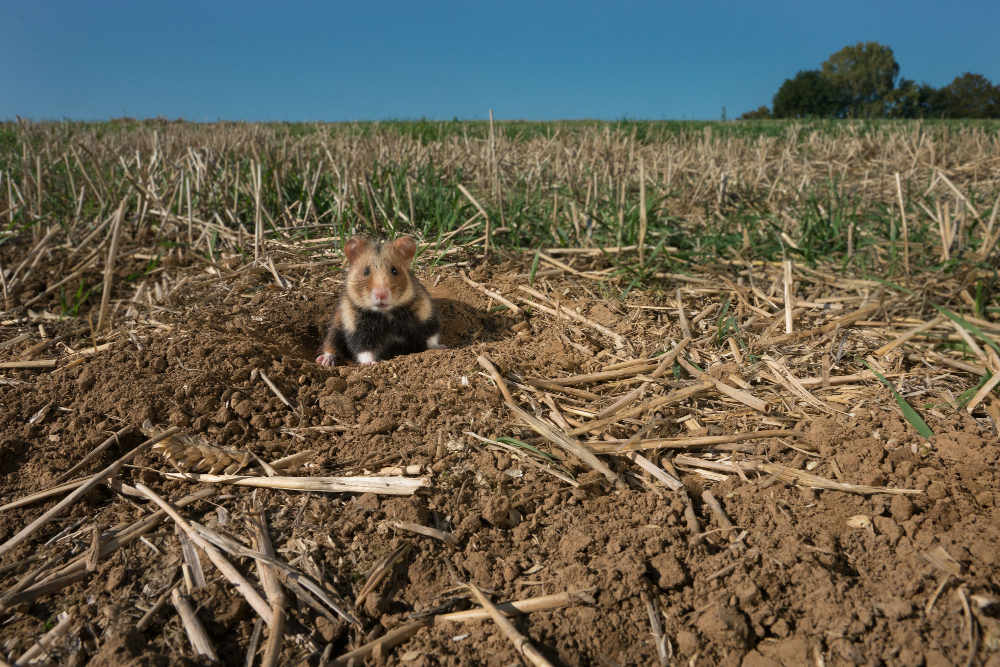 Feldhamster (Foto: Deutsche Wildtier Stiftung – Manfred Sattler)