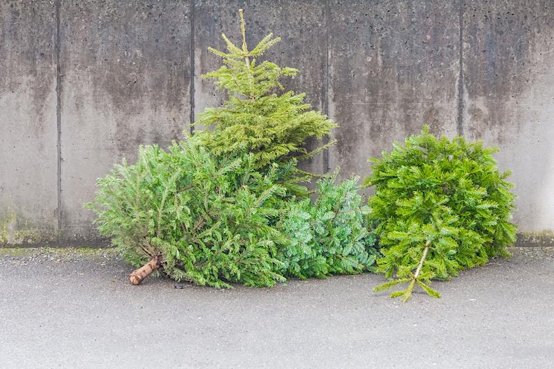 Ausgediente Weihnachtsbäume können ab dem 4. Januar auf dem Wertstoffhof der AVR GewerbeService GmbH in Heidelberg-Rohrbach von montags bis freitags in der Zeit von 8:00 Uhr bis 16:00 Uhr abgegeben werden. (Foto: AVR UmweltService GmbH, Sinsheim)