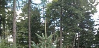 Tannenbaum (Foto: Stadt Edenkoben)