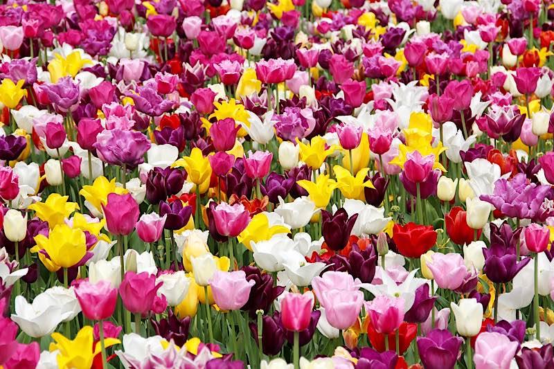 Symbolbild Blumen Tulpen (Foto: Peggy und Marco Lachmann-Anke)