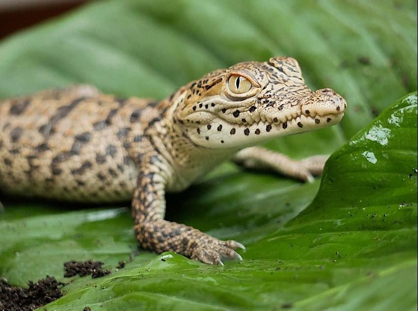 Das Kubakrokodil gilt als vom Aussterben bedroht. (Foto: Zoo Hoyerswerda)
