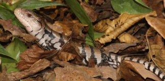 Schlange oder Leguan? Die Haut ist jedenfalls einmalig (Foto: Stadtpark Mannheim)