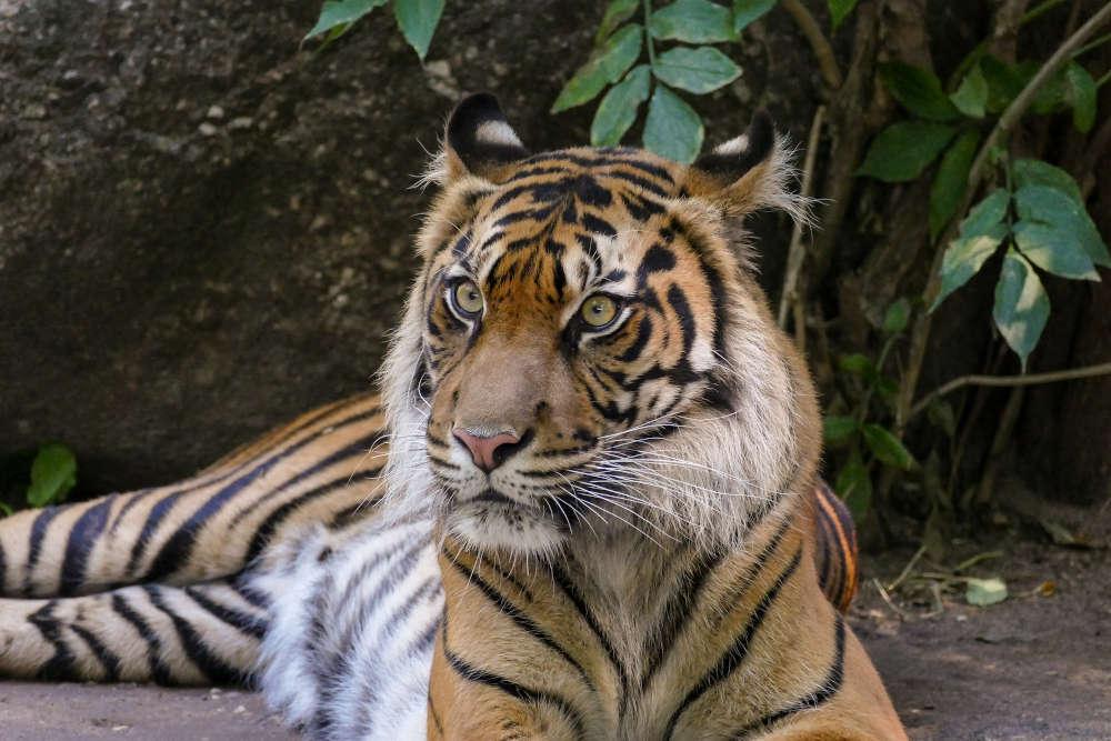 Tigerin Karis im Zoo Heidelberg hat Nachwuchs bekommen. (Foto: Zoo Heidelberg/Heidrun Knigge)