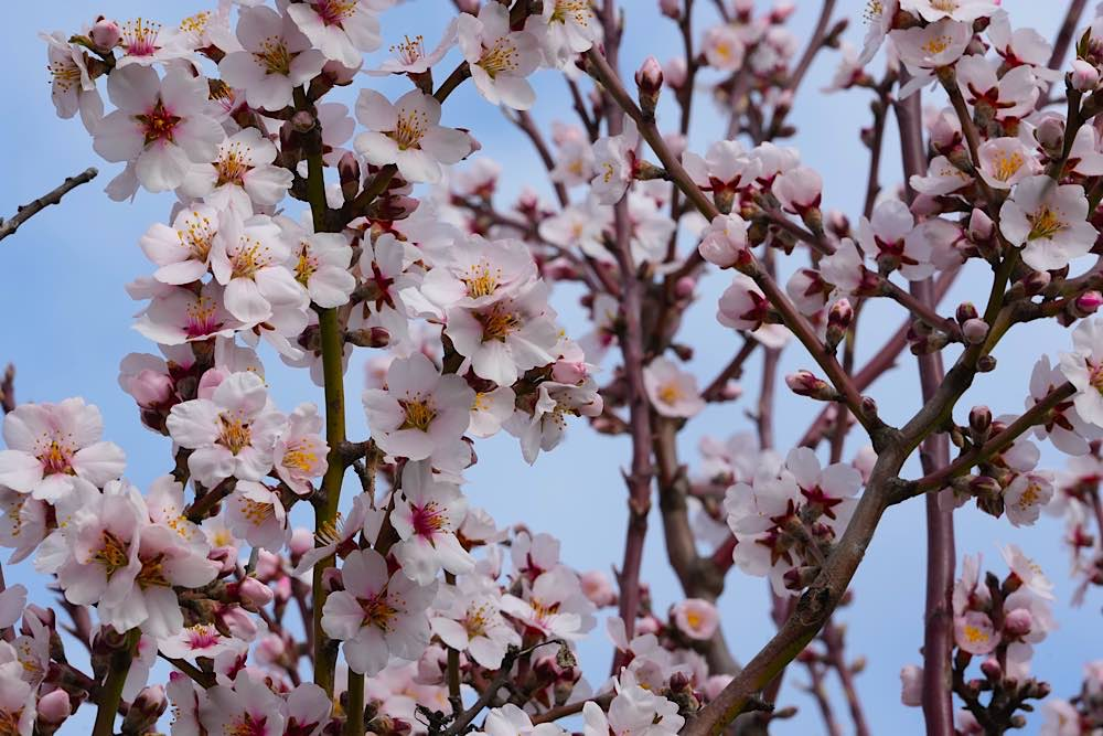 Neustadt Gimmeldingen Mandelblüten 2021 (Foto: Holger Knecht)