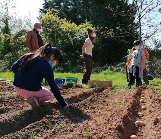 Im Schulgarten hinterm Kulturviereck haben die Kinder Kartoffelsetzlinge ausgebracht. (Foto: Gemeindeverwaltung Haßloch)