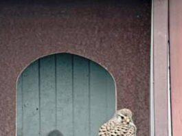 Falken im Falkenhorst bei der GML (Foto: GML)