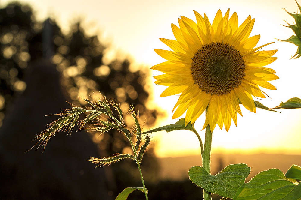 Symbolbild Natur Sonnenblume Umwelt (Foto: Pixabay/Mircea Ploscar)