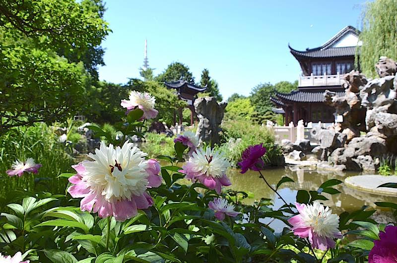 Derzeit Päonienblüte im Juni im Luisenpark (Foto: Stadtpark Mannheim gGmbH)