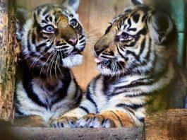 Bei einem Abstecher ins Raubtierhaus können Zoobesucher die jungen Tiger beobachten. (Foto: Peter Bastian/Zoo Heidelberg)