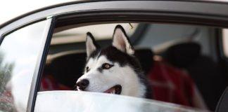 Symbolbild Hund in PKW (Foto: Pixabay/anvel)